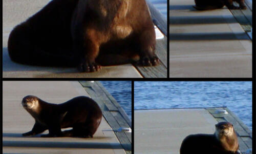 The Otter and the dock